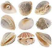 seashells coquina  collection isolated on white