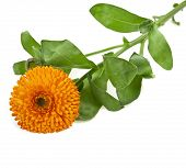 flower of calendula Isolated on white background