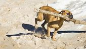 Boxer Dog At The Beach.