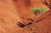 Tree In Red Sand