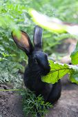 Rabbit Chewing Leaf Beet