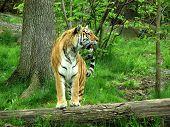 Gazing Tiger2 poster