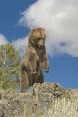 Grizzly Bear On Montana Ridge