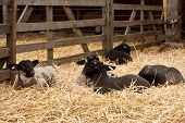 image of suffolk sheep  - Sheep and lambs during lambing in a farm - JPG