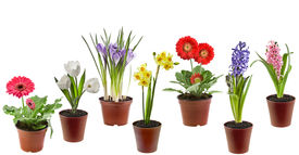 image of flower pot  - Spring flowers  in the pot isolated on a white background - JPG