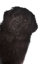 image of gentle giant  - Newfoundland dog in front of a white background - JPG