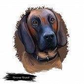 Hanover Hound, Hanoverian Hound, Hanoverian Scenthound Dog Digital Art Illustration Isolated On Whit poster