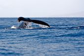 pic of cetacea  - Tail of Humpback Whale above surface of water - JPG