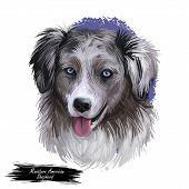 Miniature American Shepherd, Intelligent Dog Digital Art Illustration. Mas Purebred Trained To Take  poster