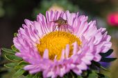 A Fly (hylemya Vagans) Sits On A Light Pink Aster Flower. Insect Closeup. poster