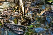 Amphibian Lake Frog Sitting On The Water. The Texture Of The Frog Background The Frog On The Water S poster