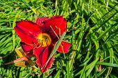 Green Stick Insect Or Green Phylliidae. The Green Phasmatodea Sits On Flower Red Daylilies In The Ga poster