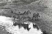Zebras at Amboseli National Park