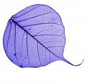 Bodhi color leaf , macro, isolated on white