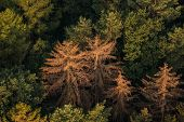 Spruce Forest Affected By Bark Beetle On Aerial View poster