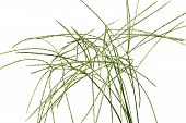 Digitaria Sanguinalis Isolated On White. There Are Many Others Names For D. Eriantha, Such As Common poster