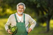 Senior gardener gardening in his permaculture garden -  holding a splendid Savoy Cabbage head, proud poster