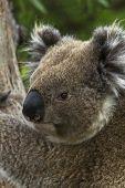 Wild Koala Turns His Head