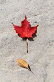Happy Canada Day Real Maple Leaves In Shape Of Canadian Flag. Canada Day Maple Leaves Background. Sy poster