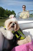 Shih Tzu Puppy In A Life Vest