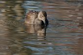 picture of gadwall  - A Gadwall  - JPG