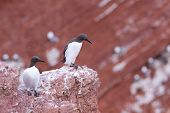 Guillemots standing on a cliff