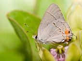 Tiny Gray Hairstreak butterfly resting on a Green milkweed flower