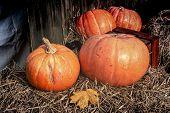 Autumn Pumpkin - Orange Pumpkins In The Hay. Orange Pumpkins At Outdoor. Copy Space For Your Text poster