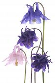 foto of columbine  - Studio Shot of Blue and Pink Colored Columbine Flowers Isolated on White Background - JPG