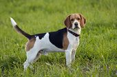picture of foxhound  - Image of the beagle on meadow  - JPG