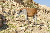 picture of jericho  - Yellow and white donkey on rocky hillside in the desert in Wadi Qelt near Jericho - JPG