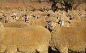 image of feedlot  - Group of dusty merino sheep facing camera - JPG