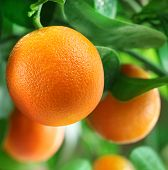 Oranges on a citrus tree close up.