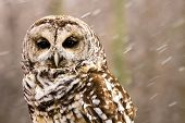 stock photo of snow owl  - A Barred owl  - JPG