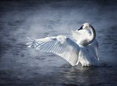 pic of trumpeter swan  - Adult trumpeter swan with wings stretched - JPG