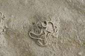 Lugworm ou Sandworm, Arenicola Marina
