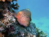 stock photo of hawkfish  - A Freckled Hawkfish in the Red Sea Egypt - JPG