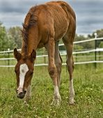 Baby Foal Grazing