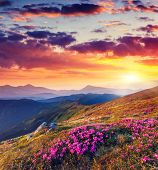 stock photo of night-blooming  - Magic pink rhododendron flowers on summer mountain - JPG