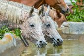 Horses drinking water outdoor, Arabian horses.