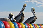 Pelicans enjoying a sunny day