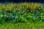 A Beautiful Lake of Yellow Lotus Flowers, Water Hyacinths, Reeds, and Other Aquatic Plants