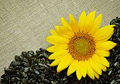 Sunflower, Seeds And Canvas
