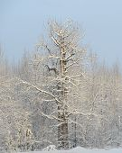 stock photo of cottonwood  - Large cottonwood tree with a fresh coat of snow - JPG