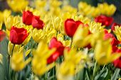 Fiel Of Tulip