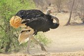 picture of ostrich plumage  - A male Ostrich in threatening pose - JPG
