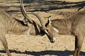 Waterbuck - Wildlife background from Africa - Bull Fight