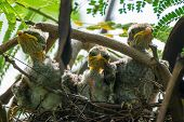 Corvinella Corvina - Yellow-billed Shrike Nest