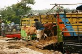 cattle market in Asia
