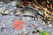 Deat rat lying by poison.